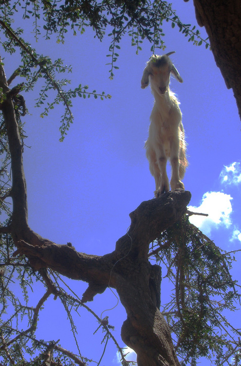 A picture of a goat up a tree