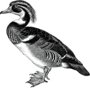 The DocBook duck