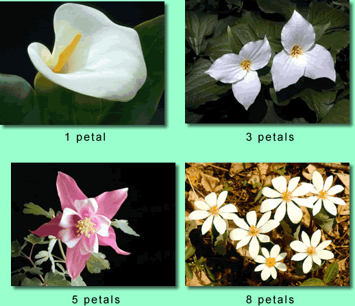 Various examples of the Fibonacci sequence found in flower petals. Photo source: http://www.maths.uq.edu.au/~infinity.