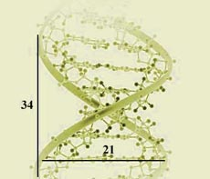 Example of the Fibonacci sequence found in DNA spirals. Graphic source: http://goldenratiomedia.com.