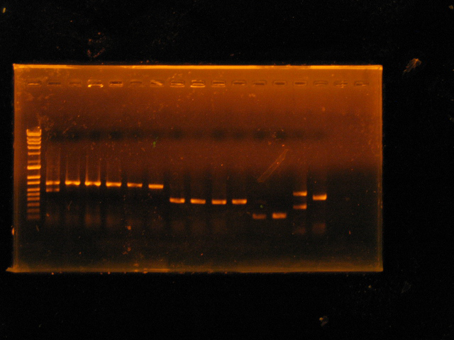 Gel electrophoresis of the two samples, Pseudohydnum gelatinosum and Sparassis crispa, in lanes 13 and 14. S. crispa is showing a double band and had to be rejected for sequencing, but P. gelatinosum was properly identified by sequence results.